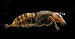 The first 'Murder Hornet' spotted in the US in 2021 was found dead near Seattle